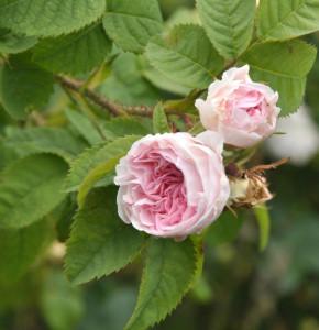 Historische Rose Felicite Parmentier 30-60cm
