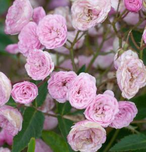 Kletterrose Heavenly Pink 30-60cm