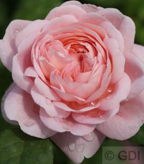 Englische Rose Queen of Schweden® 30-60cm