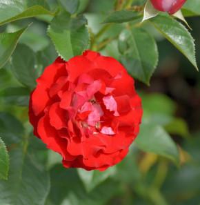 Hochstamm Rose Rose der Einheit 80-100cm