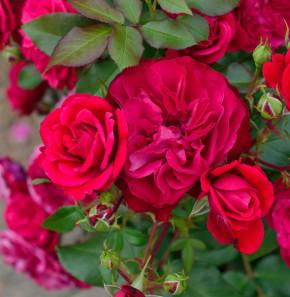 Hochstamm Rose Rouge Meilove 40-60cm