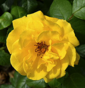 Hochstamm Rose Stuttgardia 80-100cm