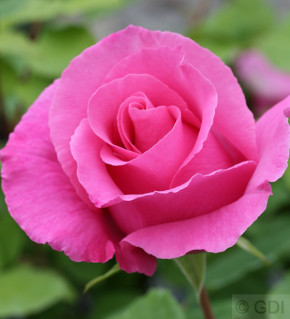 Duftrose The Mc Cartney Rose® 30-60cm