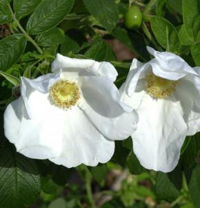 weiße Apfelrose 40-60cm - Rosa rugosa alba