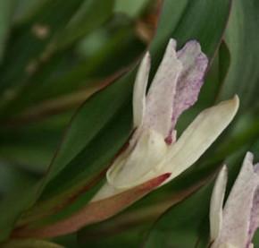 Ingwer Orchidee - Roscoea beesiana