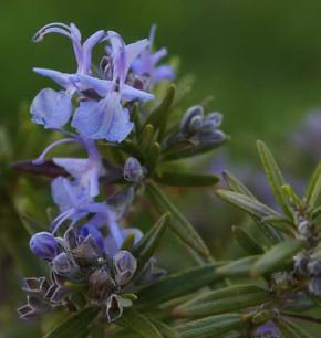 Rosmarin Upright Blue - Rosmarinus officinalis