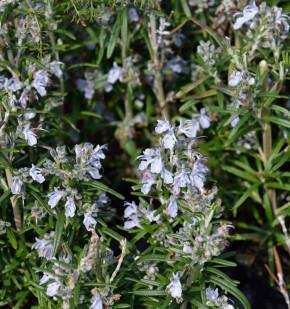 Rosmarin Albiflorus - Rosmarinus officinalis