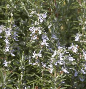 Rosmarin Veitshöchheim - Rosmarinus officinalis