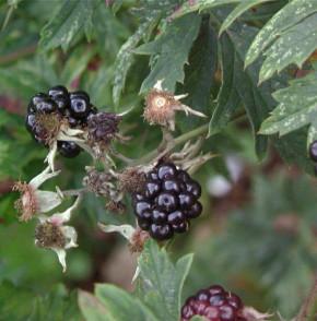 Brombeere Oregon Thornless - Rubus fruticosus