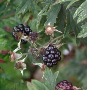 Brombeere Thornfree - Rubus fruticosus
