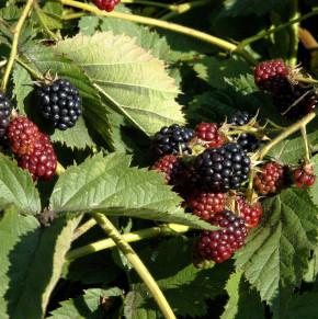 Brombeere Triple Crown - Rubus fruticosus