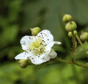 Chinesische Brombeere - Rubus tricolor