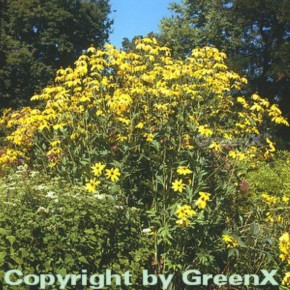 Fallschirm Rudbeckia Herbstsonne - Rudbeckia nitida