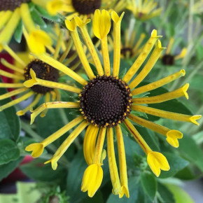 Sonnenhut Henry Eilers - Rudbeckia subtomentosa