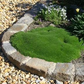 Sternmoos Green Moss - Sagina subulata