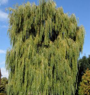 Silber Weide Resistenta 100-125cm - Salix alba