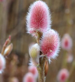Hochstamm Rote Japanische Kätzchenweide Mount Aso 60-80cm - Salix gracilistyla