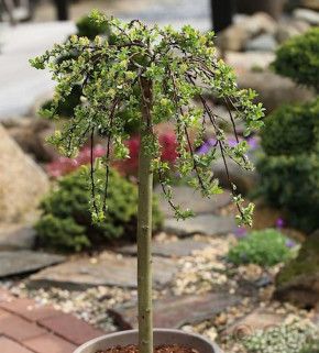 Hochstamm Teppichweide 80-100cm - Salix simulatrix