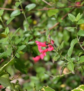Myrten Salbei - Salvia microphylla