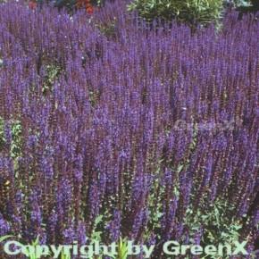 Salbei Mainacht - Salvia nemorosa