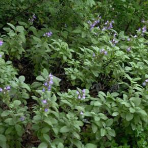 Echter Salbei Berggarten - Salvia officinalis