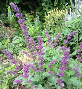 Quirlblütiger Salbei - Salvia verticillata