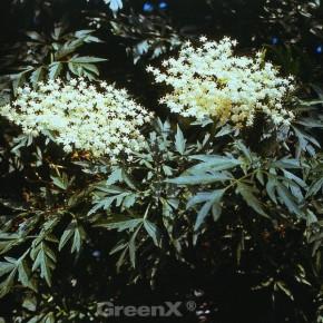 Grünblättriger Schlitz-Holunder Laciniata 40-60cm - Sambucus nigra