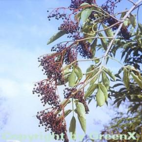 Schwarzer Holunder 100-125cm - Sambucus nigra