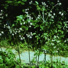 Wundsanikel - Sanicula europaea