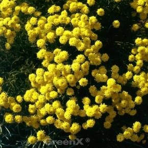 Grünes Heiligenkraut - Santolina rosmarinifolia