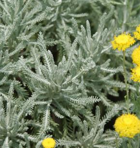 Heiligenkraut Grün - Santolina serratifolia