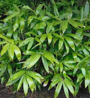 Breitblättriger Bambus 60-80cm - Sasa palmata nebulosa