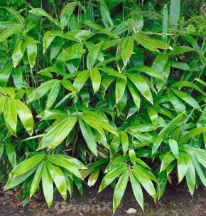 Palmenbambus 40-60cm - Sasa palmata
