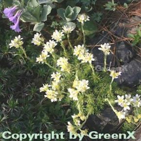 Moossteinbrech Alba - Saxifraga apiculata