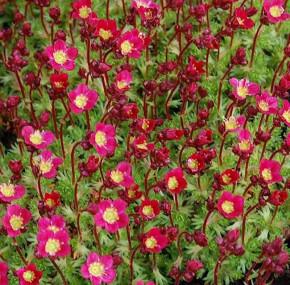 Moossteinbrech Pixi Rose - Saxifraga arendsii