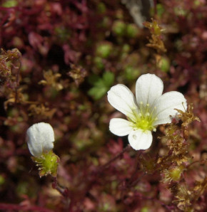 Rasensteinbrech Findling - Saxifraga cespitosa