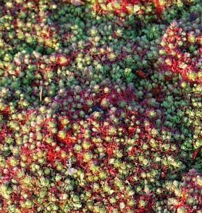 Teppich Steinbrech - Saxifraga hypnoides