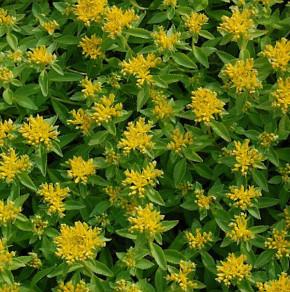 Immergrüner Steinbrech Aizoon - Saxifraga paniculata