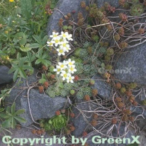 Immergrüner Steinbrech - Saxifraga paniculata