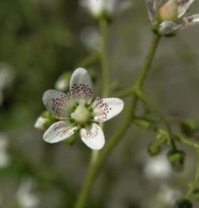 Rundblättriger Steinbrech - Saxifraga rotundifolia