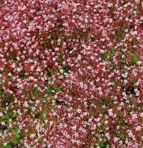 Porzellanblümchen Clarence Elliot - Saxifraga urbium