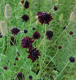Witwenblume Chile Black - Scabiosa atropurpurea