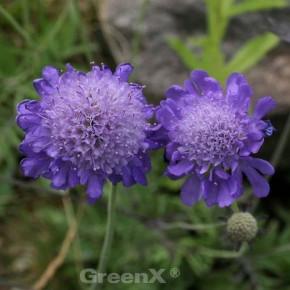 Japanische Skabiose Blue Note - großer Topf - Scabiosa japonica