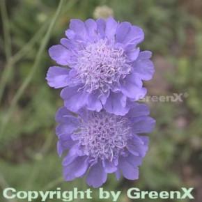 Japanische Skabiose - Scabiosa japonica