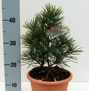Japanische Schirmtanne Piccola 30-40cm - Sciadopitys verticillata