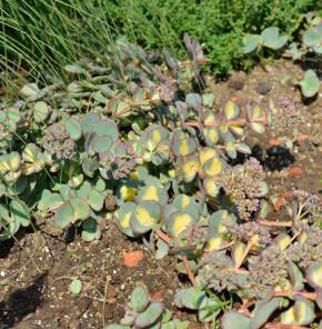 Fettblatt Mediovariegatum - Sedum alboroseum
