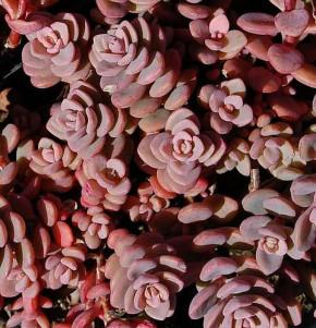 Fetthenne Rosenteppich - Sedum cyaneum
