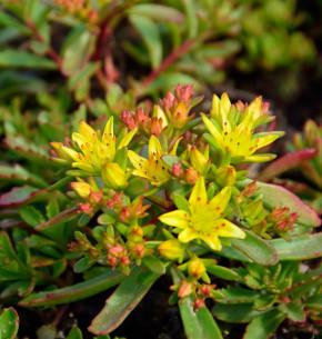 Fetthenne Weihenstephaner Gold - großer Topf - Sedum floriferum