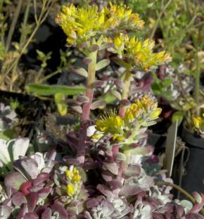 Fetthenne Purpureum - Sedum spathulifolium