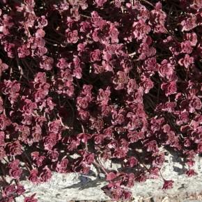 Kaukasus Asienfetthenne Purpurteppich - Sedum spurium